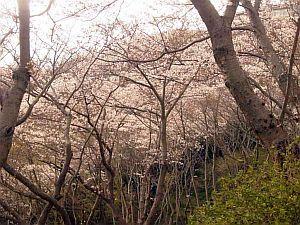 御崎桜.jpg