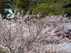 坂越桜.jpg