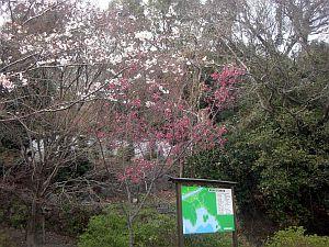 赤い桜.jpg