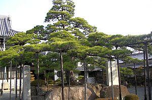 二代目大石名残の松.jpg